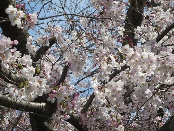 Mãn nhãn ngắm hoa anh đào nở rực rỡ trên đất nước Nhật Bản ảnh 8