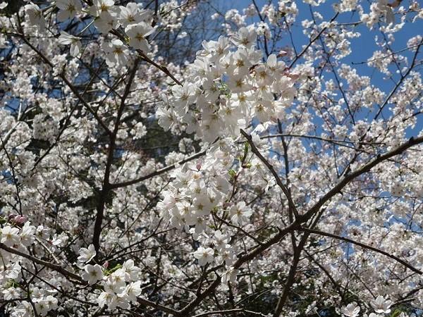 Mãn nhãn ngắm hoa anh đào nở rực rỡ trên đất nước Nhật Bản ảnh 7