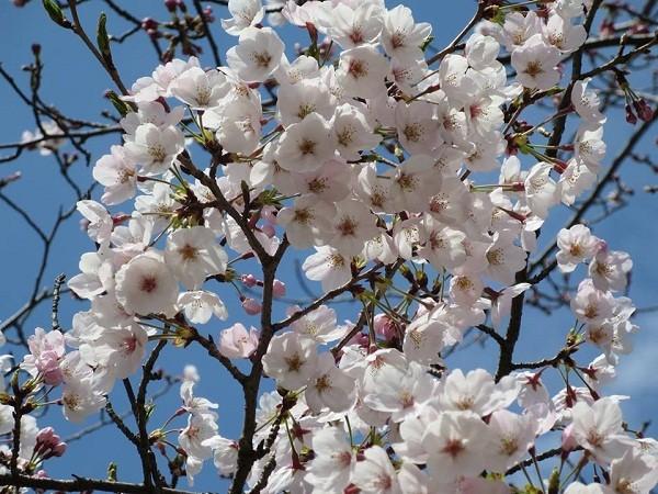Mãn nhãn ngắm hoa anh đào nở rực rỡ trên đất nước Nhật Bản ảnh 9