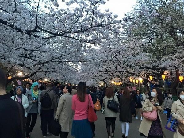Mãn nhãn ngắm hoa anh đào nở rực rỡ trên đất nước Nhật Bản ảnh 1