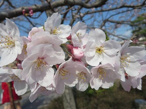 Mãn nhãn ngắm hoa anh đào nở rực rỡ trên đất nước Nhật Bản ảnh 15