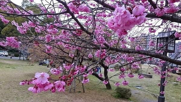 Mãn nhãn ngắm hoa anh đào nở rực rỡ trên đất nước Nhật Bản ảnh 4