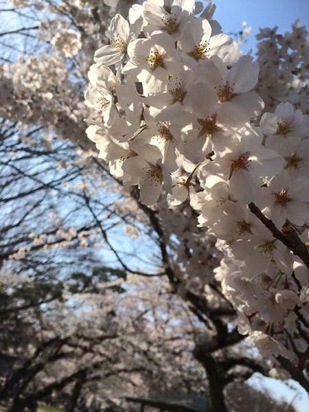 Mãn nhãn ngắm hoa anh đào nở rực rỡ trên đất nước Nhật Bản ảnh 11