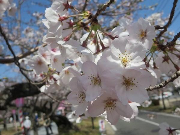 Mãn nhãn ngắm hoa anh đào nở rực rỡ trên đất nước Nhật Bản ảnh 13