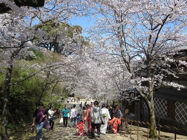Mãn nhãn ngắm hoa anh đào nở rực rỡ trên đất nước Nhật Bản ảnh 2