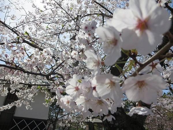 Mãn nhãn ngắm hoa anh đào nở rực rỡ trên đất nước Nhật Bản ảnh 5