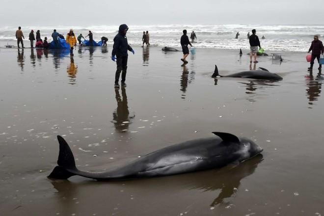 Nhật Bản bất lực khi cố cứu hơn 130 con cá voi mắc cạn ảnh 2