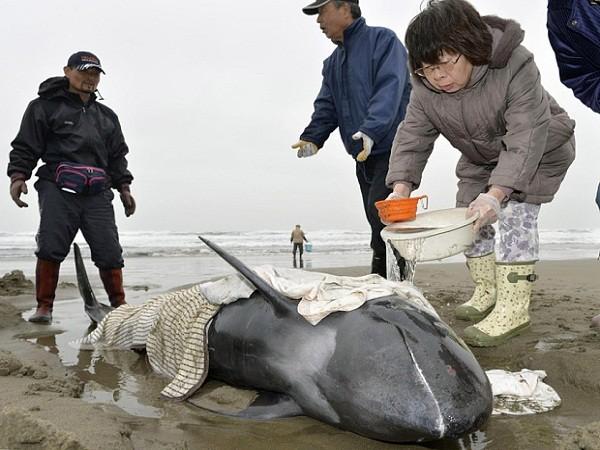 Nhật Bản bất lực khi cố cứu hơn 130 con cá voi mắc cạn ảnh 1