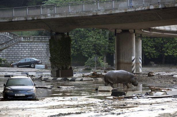 Sau lũ lụt, hổ, báo, sư tử, cá sấu... tràn xuống đường phố ảnh 1