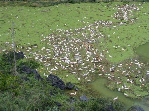 16.000 con lợn chết đuối trắng xóa vì lũ lụt ở Trung Quốc ảnh 1
