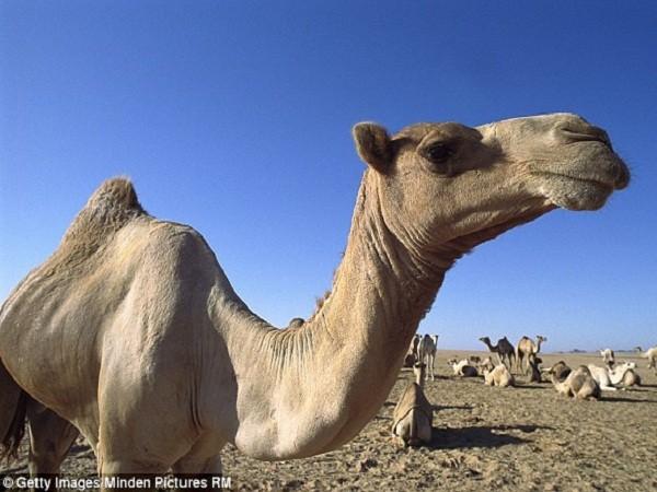 Mẹ bắt con trai bỏ vợ vì nhìn thấy con dâu hôn... lạc đà