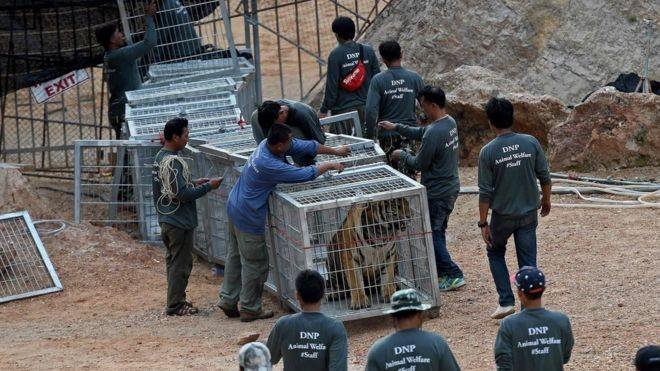 Cảnh sát và các nhà bảo vệ động vật đã giải cứu hàng chục con hổ