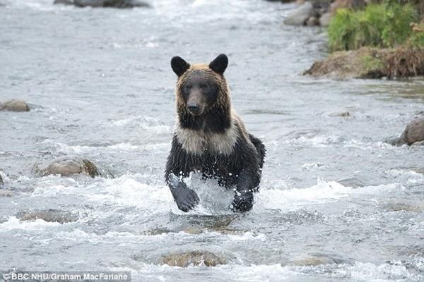 Khu vực Yamato biến mất là nơi sinh sống của gấu hoang dã