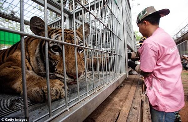 Những hình ảnh không thể tin nổi trong ngôi đền Hổ nổi tiếng ở Thái Lan ảnh 15