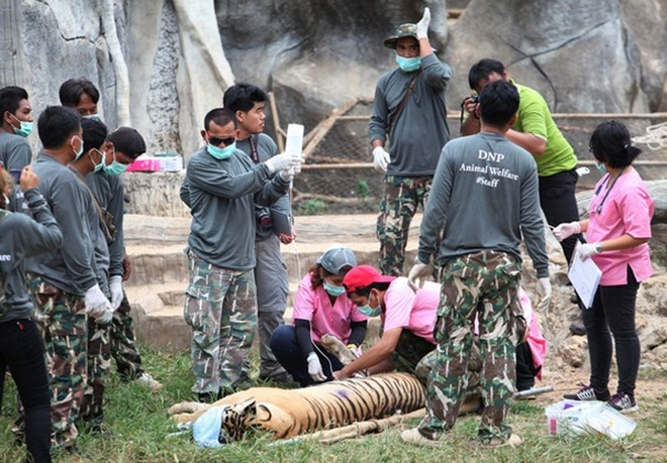 Những hình ảnh không thể tin nổi trong ngôi đền Hổ nổi tiếng ở Thái Lan ảnh 13