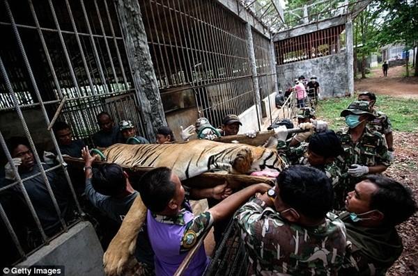 Những hình ảnh không thể tin nổi trong ngôi đền Hổ nổi tiếng ở Thái Lan ảnh 20