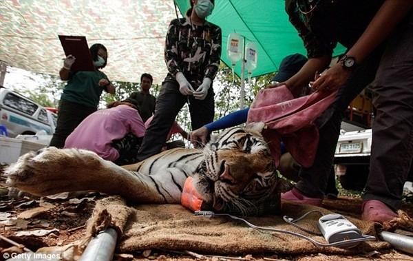 Những hình ảnh không thể tin nổi trong ngôi đền Hổ nổi tiếng ở Thái Lan ảnh 16