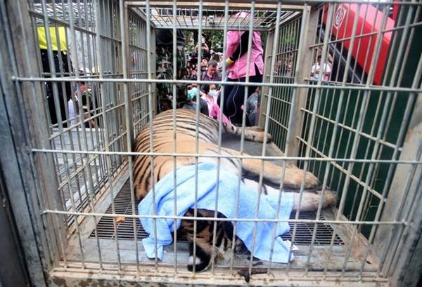 Những hình ảnh không thể tin nổi trong ngôi đền Hổ nổi tiếng ở Thái Lan ảnh 12
