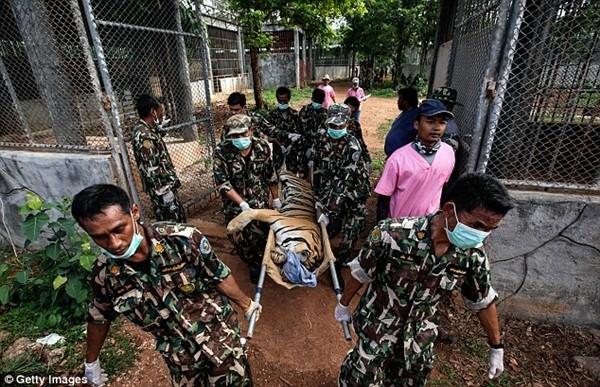 Những hình ảnh không thể tin nổi trong ngôi đền Hổ nổi tiếng ở Thái Lan ảnh 17