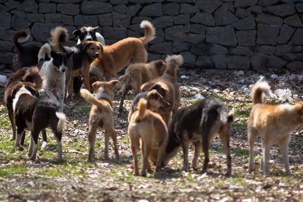 Chó hoang là mối đe dọa cho phụ nữ và trẻ em trong nhiều thành phố tại bang Kerala
