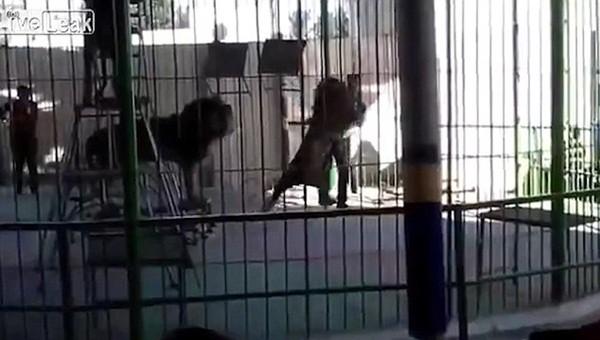 Shaheen bị tấn công bất ngờ từ phía một con sư tử mới của đoàn xiếc