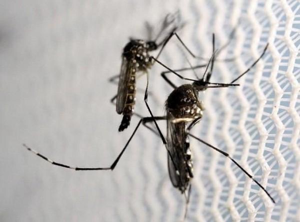 Zika lây truyền qua muỗi Aedes, loại phổ biến ở các khu vực thuộc châu Mỹ