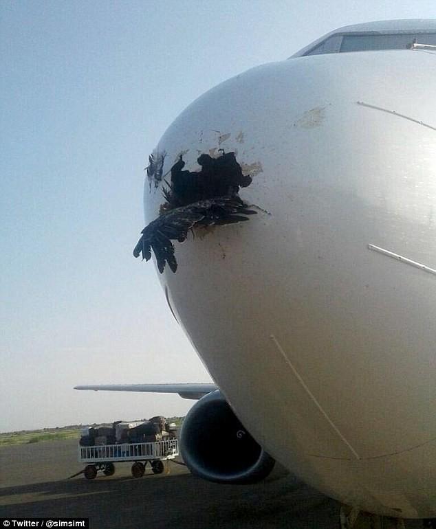 Con chim mắc kẹt trong mũi máy bay sau khi đâm thủng nó