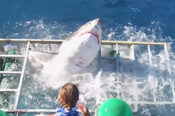 Thót tim: Cá mập lao vào lồng an toàn của thợ lặn