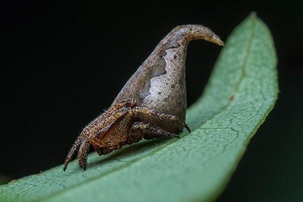 Loài nhện mới giống chiếc mũ phù thủy
