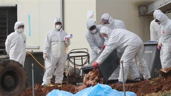 Hoạt động tiêu hủy gà tại một nông trại có dịch cúm gia cầm ở Hàn Quốc