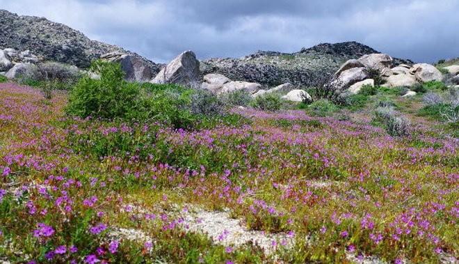 Những thảm hoa nở rộ trên sa mạc Mỹ