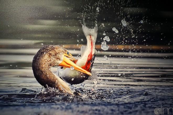"""""""Cuộc vật lộn sinh tử"""" giữa con chim cốc và con cá hồi cầu vồng. Bức ảnh FIAP Ribbon - tác phẩm danh dự Honor Mention của Hội Nhiếp ảnh Nghệ thuật quốc tế của Đặng Mỹ Hạnh"""
