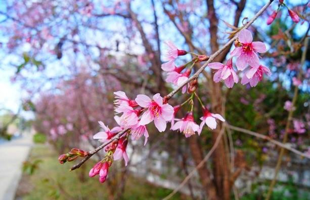 Hoa mai anh đào là loài hoa tượng trưng cho sắc xuân Đà Lạt