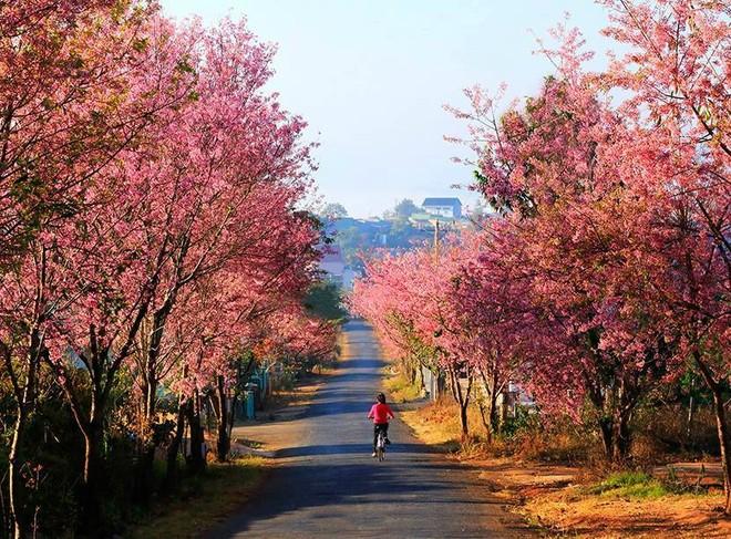 Mai anh đào nhuộm hồng đường phố Đà Lạt, tạo nên cảnh tượng nên thơ