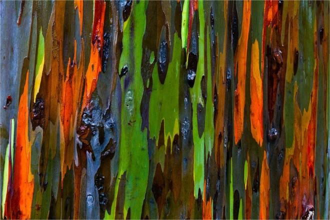 Vỏ cây Eucalyptus. Hawaii