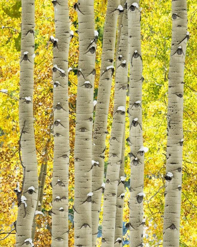 Hình ảnh những thân cây dương
