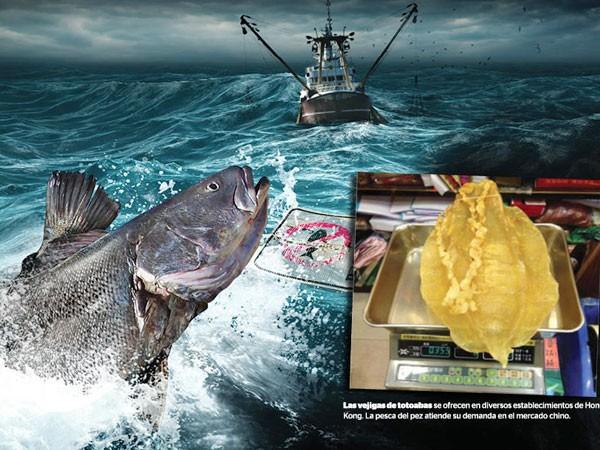 Bong bóng cá totoaba là đặc sản quý hiếm trong các nhà hàng