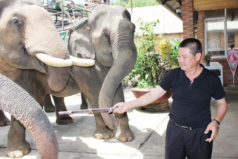 Ông Đàn Năng Long chăm chút voi như người thân nên đàn voi của ông không bao giờ phẫn nộ hay sụt cân