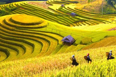 Ruộng bậc thang Hoàng Su Phì vào mùa gặt