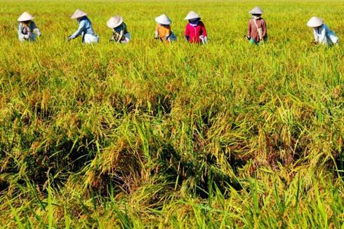 Chi 7.000 tỷ đồng, lúa gạo Việt có chuyển mình?