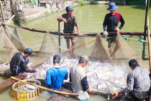 Cảnh báo hiện tượng Trung Quốc mua cá tra non ảnh 1