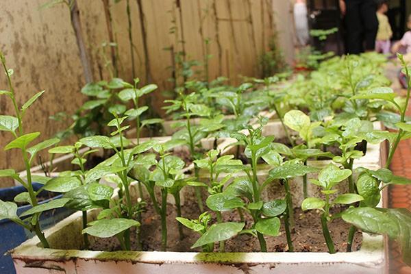 Luống rau sạch mới cấy được 10 ngày của gia đình chị Hằng (ở đường Lạc Long Quân, Hà Nội)