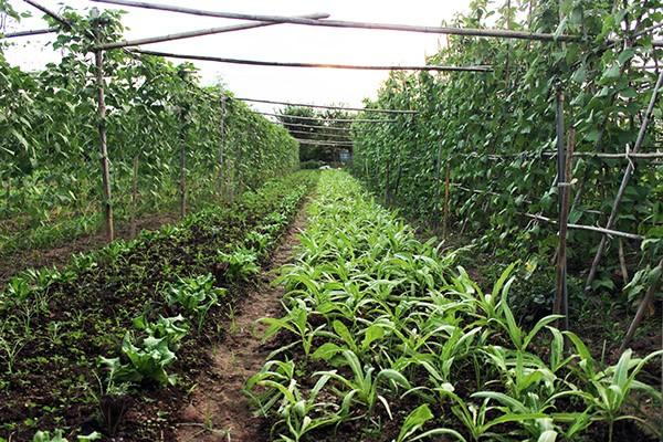 Những luống rau xanh mướt được nuôi dưỡng bởi mẹ thiên nhiên, không có sự can thiệp của các chất hóa học