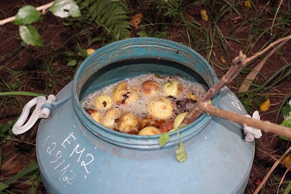 Ổi hỏng trong vườn cũng được thu hoạch để lên men vi sinh, làm phân bón hữu cơ cho cây