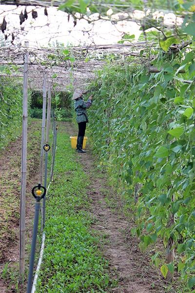 Người nông dân đang đi thu hoạch những trái bầu trưởng thành