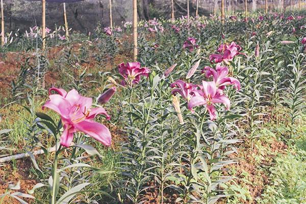 Ghé thăm những cánh đồng hoa Tây Tựu ngày cận Tết ảnh 5