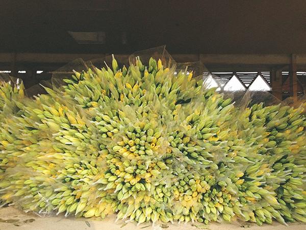 Ghé thăm những cánh đồng hoa Tây Tựu ngày cận Tết ảnh 7