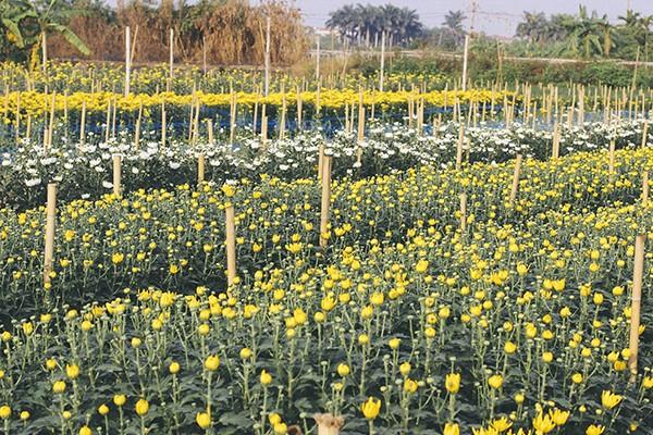 Ở làng hoa Tây Tựu, các vườn hoa hầu hết đã được được thu hoạch để phục vụ Tết Nguyên đán, chỉ còn lác đác vài vườn hoa cúc đang khoe sắc.
