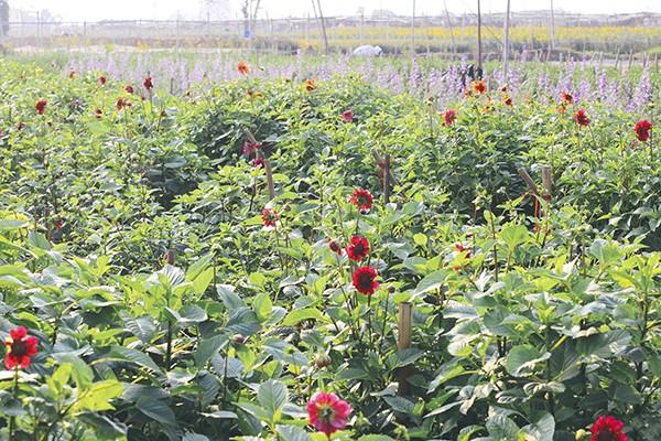 Ghé thăm những cánh đồng hoa Tây Tựu ngày cận Tết ảnh 3