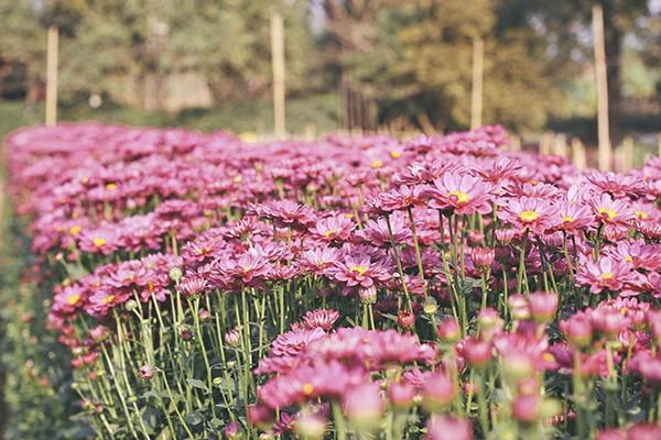 Ghé thăm những cánh đồng hoa Tây Tựu ngày cận Tết ảnh 2
